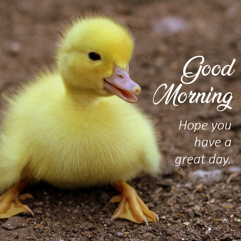 Good morning message with animal Duckling