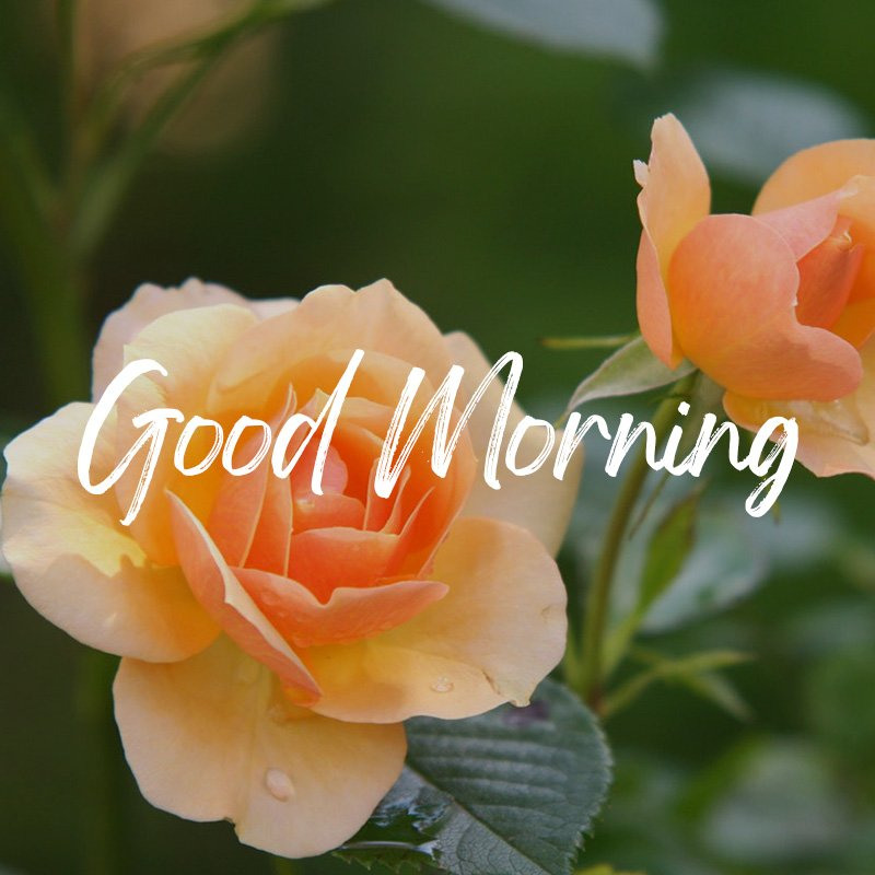 good-morning-wish-with-rose-flowers